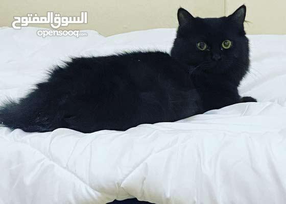 قطه انثى شيرازى انجليزى