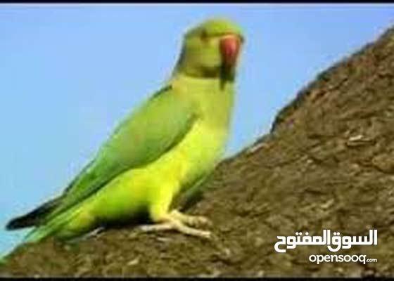 indiya green neck parrot