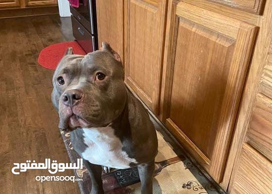 amarican bully male age 6 month 4000