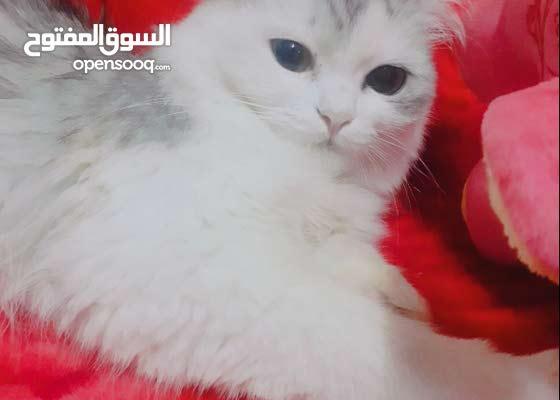 قطة بيرشن بيور للبيع pure persian female cat for sale