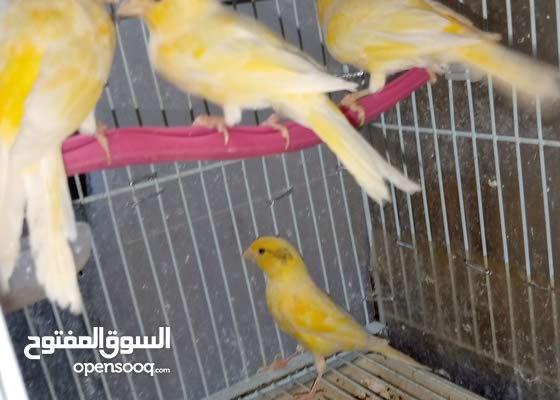 طيور كناري زوجين مكون منالعدد 4 طيور تغريد قوي ماشاء الله