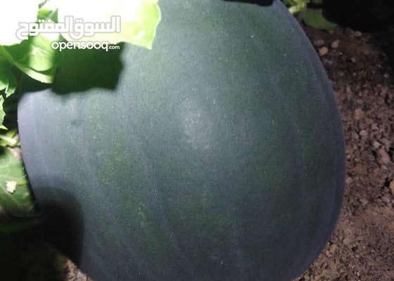 فاكهة البطيخ ( جح )