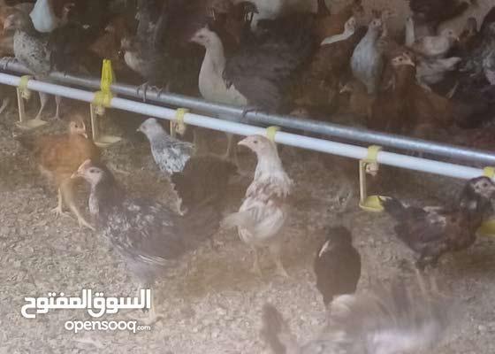 دجاج  عماني مهجن مع فرنسي  العمر  قريب ثلاثه اشهر فقط ع 900 بيسه الحبه