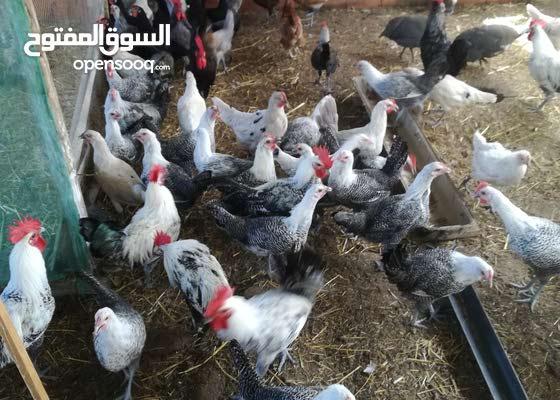 بيع بيض مخصب دجاج لفيومي 0707994254