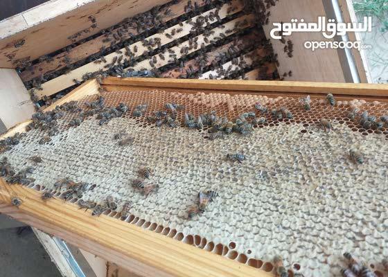 عسل طبيعي عراقي ضمان شرط الفحص من منحلي