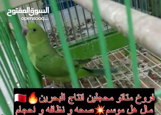 فروخ متاتو انتاج البحرين
