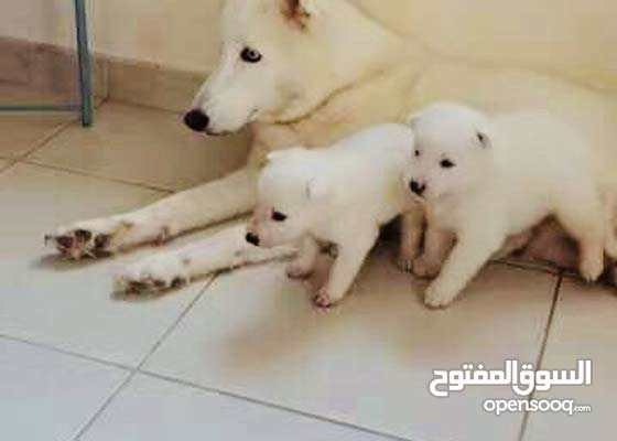Siberian husky's puppy White color