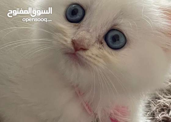 قطه شيرازي مكس هاملايا