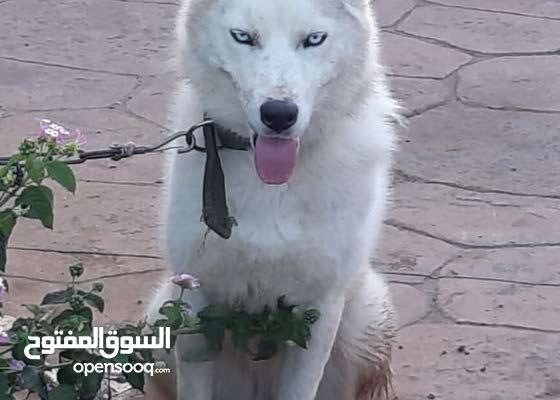 White and grey Husky