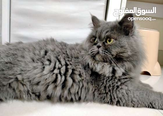 قط ذكر للتزاوج فقط. male cat for mating