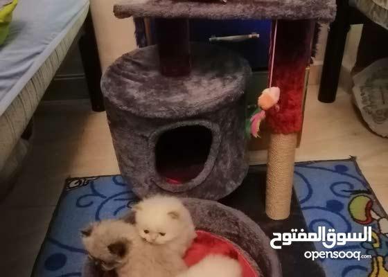قطط هملاايا للبيع بسعر رمزي