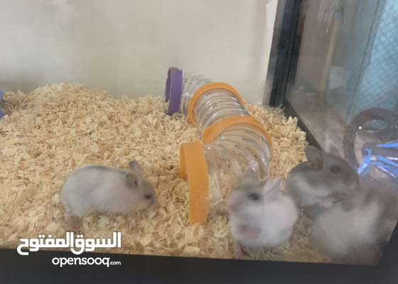 Russian Campbell Hamsters