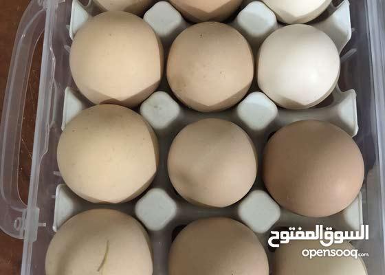 بيض براهمة خط اول