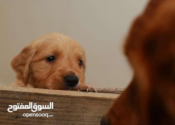 Red Golden Puppies
