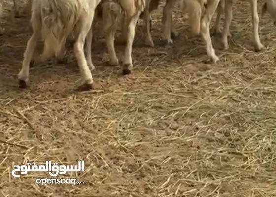 مراح غنم حريات صنف وجروم كفوو ومنوة القناي