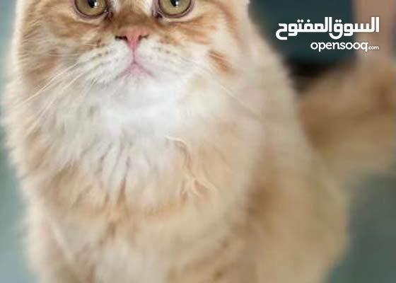 قطط شيرازية تربية بيوت