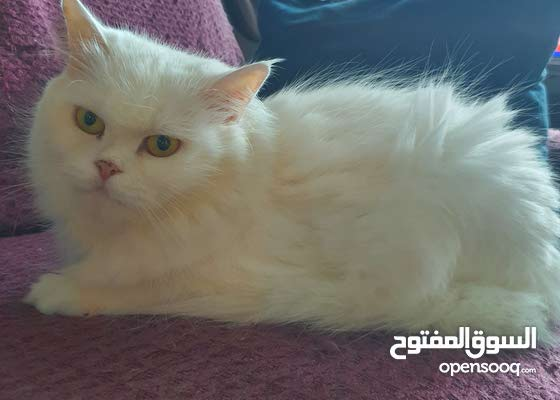 white persian spayed 4 years old