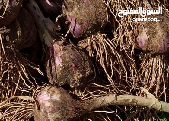 ثوم عماني لجبل الاخضر