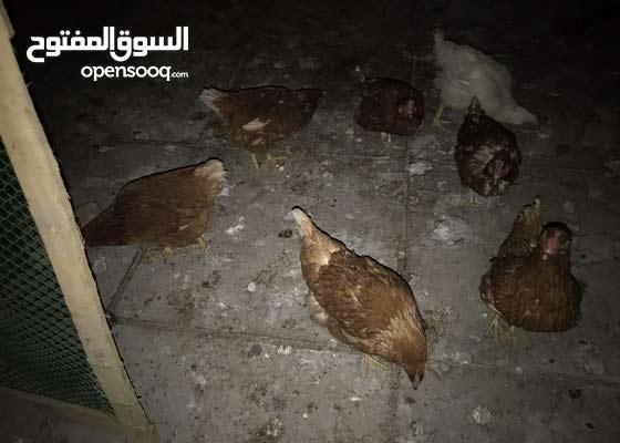 دجاج لوهمان البياض للبيع