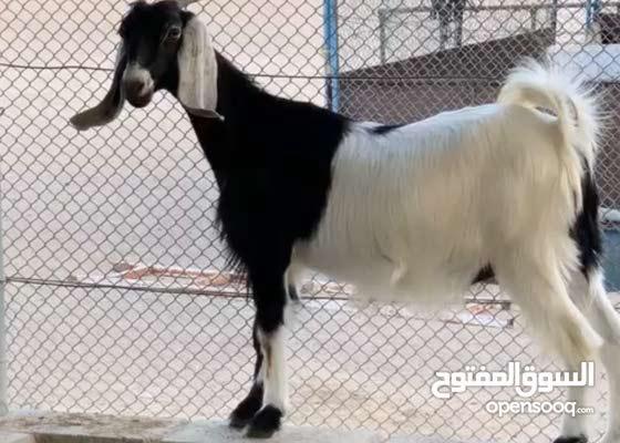 صخلة الدار للبيع لاعلى سعر عشار اول بطن لها