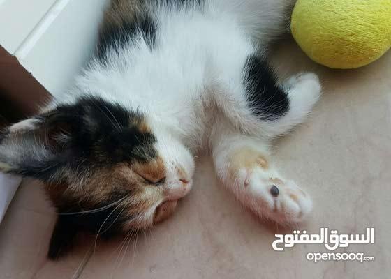 قطة شيرازي مع كل مستلزماتها وبيه مجال