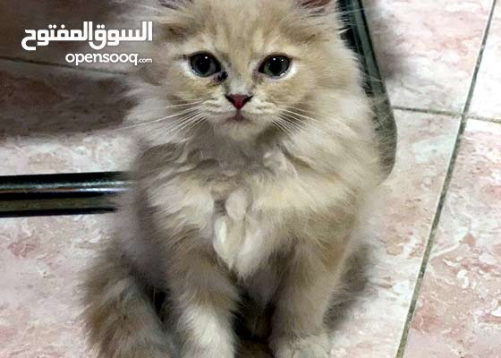 cat for sale with pet passport