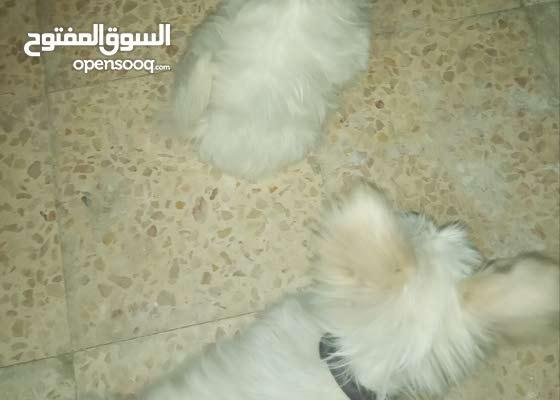 كلاب لولو جميله للبيع  داخل البيت حجمهم صغير ما بيكبرو ذكر و انثى