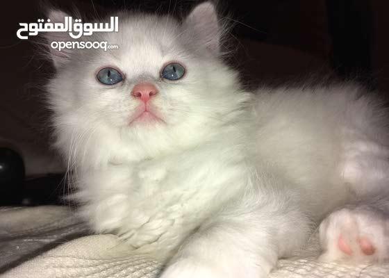 kitten persian turkish