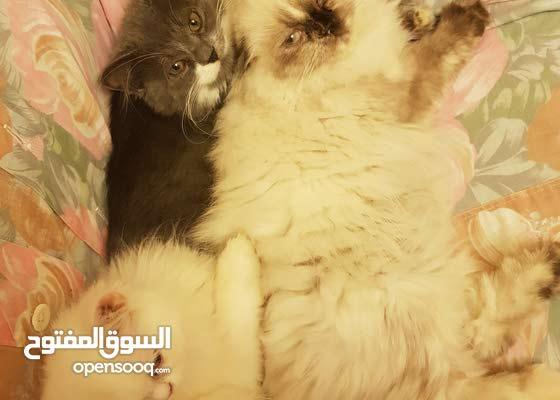 قطة هيمالايا خمس شهور للبيع 500 الف