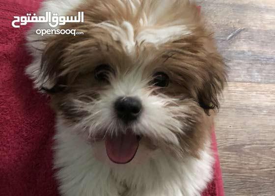 shihtzu puppy(male) 3 months