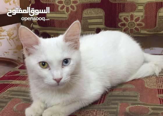 قطه شيرازيه العمر5شهور لون ابيض عيون لونان مختلفات ملقحه اليفه