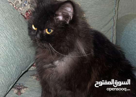 للبيع قطوه شيرازيه عمرها 8 شهور
