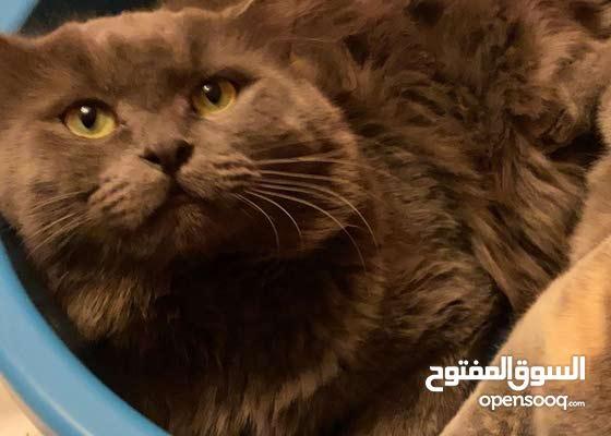 Persian Male Cat for Sale - قط ذكر