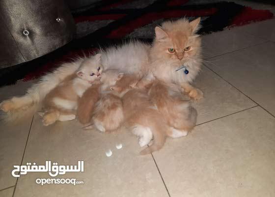 قطط شيرازي /للحجز التواصل واتس 0527721874