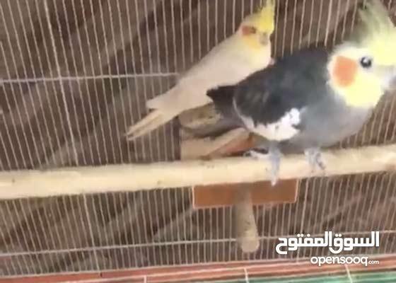 بيع الطيور مع القفص بكامل all birds with a cage Last price 1550