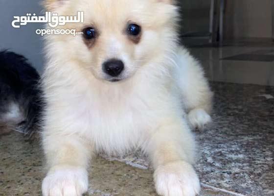 نثيه بومرينيان 4 شهورsmall  Pomeranian dog 4 months