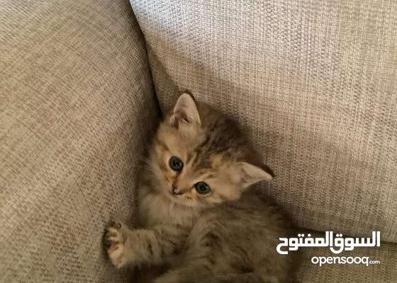 Chinchilla British kittens