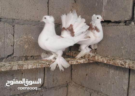 حمام عرايس اصليات الزوج ب 25