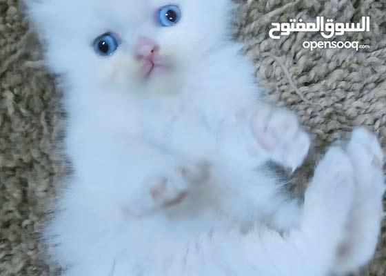 قطة شانشيلا مون فيس بيور عيون زرق