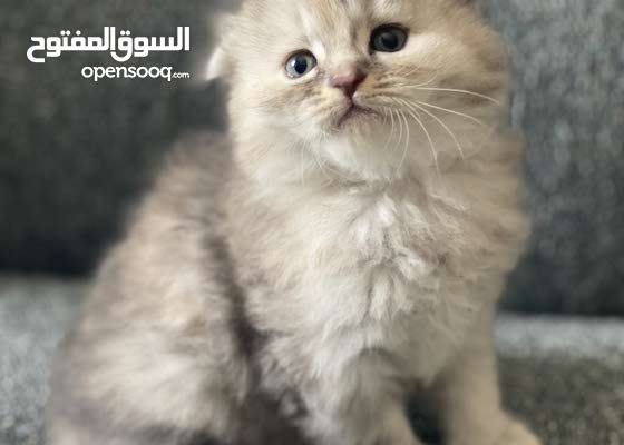 قطط سكوتش فولد وشيرازي