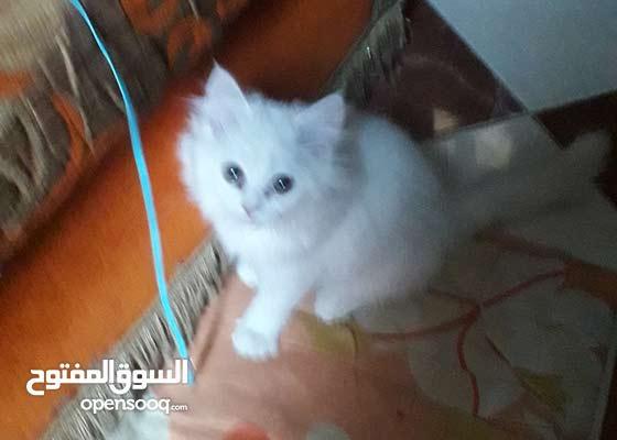 قطة شيراز ى عمر شهرين لون ابيض زى الحرير شعرها