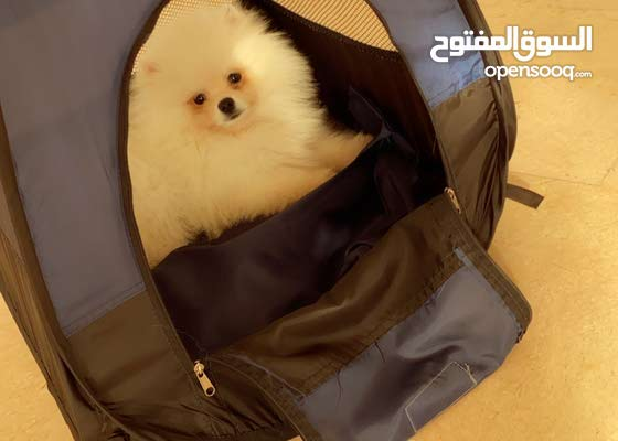 male Pomeranian for mating