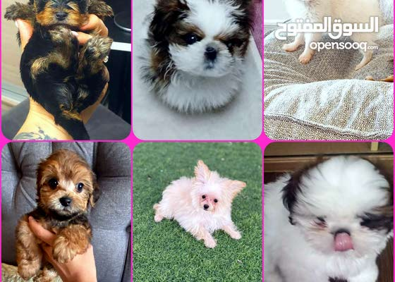 CUTEST PURE BREED PUPPIES AVAILABLE FOR SALE