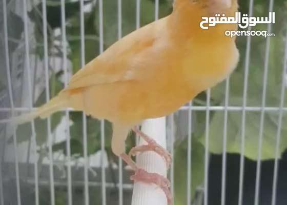 طير كناري مغرد