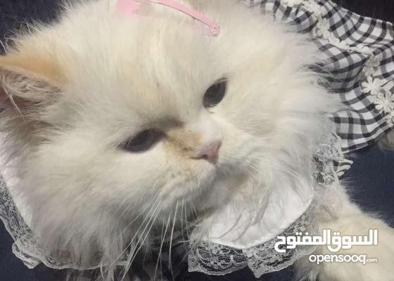 قطه انثى هملايا اورانج