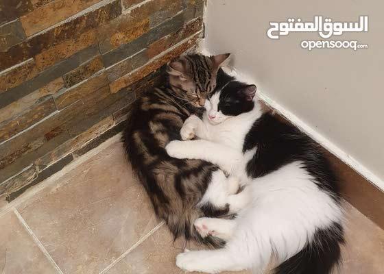 كيتين سيبيريه لا تسبب الحساسية للبيع في الرياض Siberian Hypoallergenic kittens