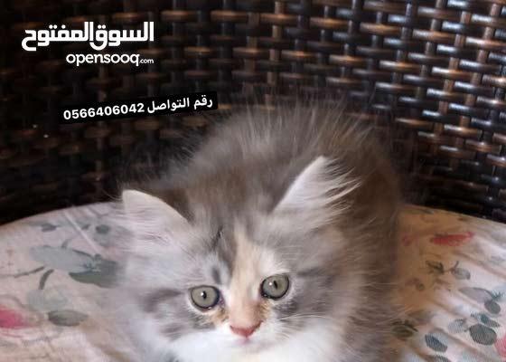 قطة شيرازي انثى العمر 45 يوم للبيع مع كامل اغراضها /female 45 days old