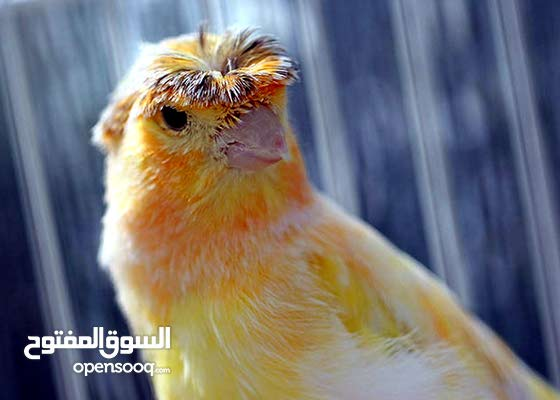كناري أصفر برقالي أبيض وكناري هيبي