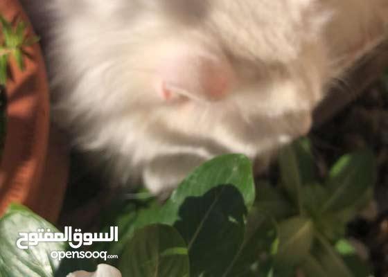 قطط زوج الانثئ حامل للبيع فقط