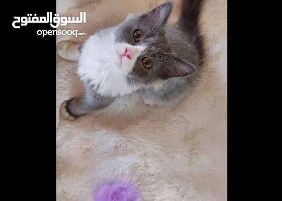 قط شيرازي persian kitten